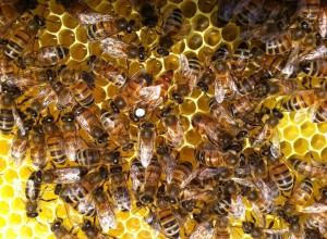 Ecopoll bijen