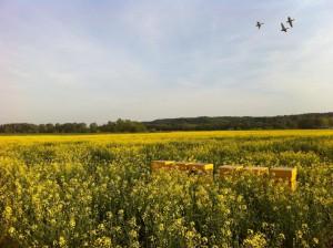 Ecopoll bijenkasten in koolzaad